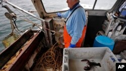 FILE - In this May 2, 2016 photo, Richard Sawyer, Jr., fishes on Long Island Sound off Groton, Conn. On a recent outing Sawyer landed just 23 lobsters. He says he now catches less in a week than he used to catch in half of a day.