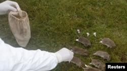 资料照:防疫人员在中国四川省甘孜藏族自治州给当地草原上的啮齿动物做标签。(2019年8月28日)