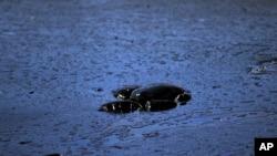 海龜因油污污染海水死亡資料照。