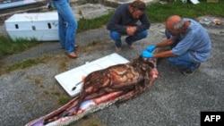 Everglades Ulusal parkında yakalanan bir pitonun karnından yetişkin bir geyik çıktı