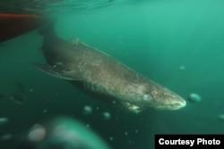 A Greenland shark swimming. Credit: Julius Nielsen