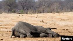 Un éléphant empoisonné au parc national de Hwange, au Zimbabwe, en 2013.