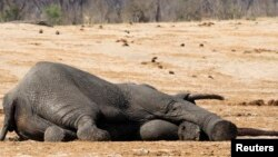 The carcass of an elephant which was killed after drinking poisoned water, lies near a water hole in Zimbabwe's Hwange National Park, about 840 km (522 miles) east of Harare, September 27, 2013. Zimbabwean ivory poachers have killed more than 80 elephants