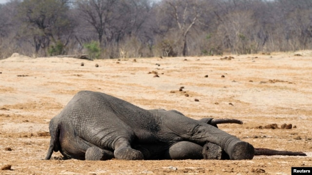 The carcass of an elephant which was killed after drinking poisoned water, lies near a water hole in Zimbabwe's Hwange National Park, September 27, 2013.