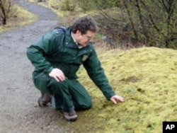 Monument scientist Peter Frenzen examines a tiny lupine poking through the moss in the blast zone.