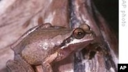 Australian Frogs Change Their Tune to Find Love
