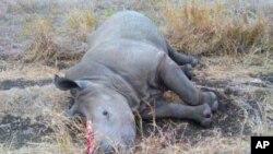 Xác một con tê giác ở Nam Phi bị giết để lấy sùng