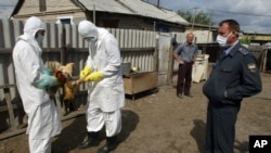 FILE - Veterinary workers give a lethal injection to chickens at a farm affected by bird flu in Russia, Aug. 22, 2005.