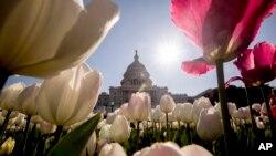نمای گنبدی ساختمان کنگره آمریکا از میان لالهها در واشنگتن دی سی. آرشیو