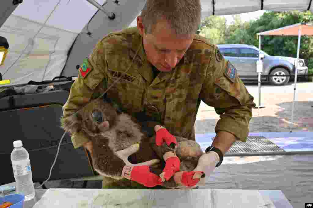 A member of the Australian Defence Force picks up an injured Koala after it was treated for burns at a makeshift field hospital at the Kangaroo Island Wildlife Park on Kangaroo Island.