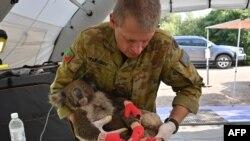 Một quân nhân Úc ẵm một con Koala bị thương sau khi nó được chữa bỏng ở một bệnh viện dã chiến trên đảo Kangaroo ngày 14/1/ 2020.