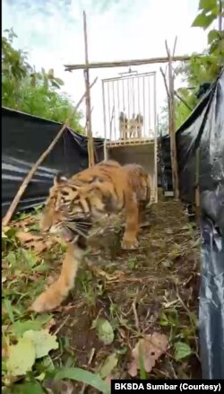 Proses pelepasliaran harimau Sumatera bernama Sipogu di kawasan hutan lindung Pasaman Barat, Sumatera Barat, Jumat 30 Juli 2021. (Courtesy: BKSDA Sumbar)
