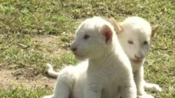Rare African White Lion Cubs Born in S. Korean Zoo