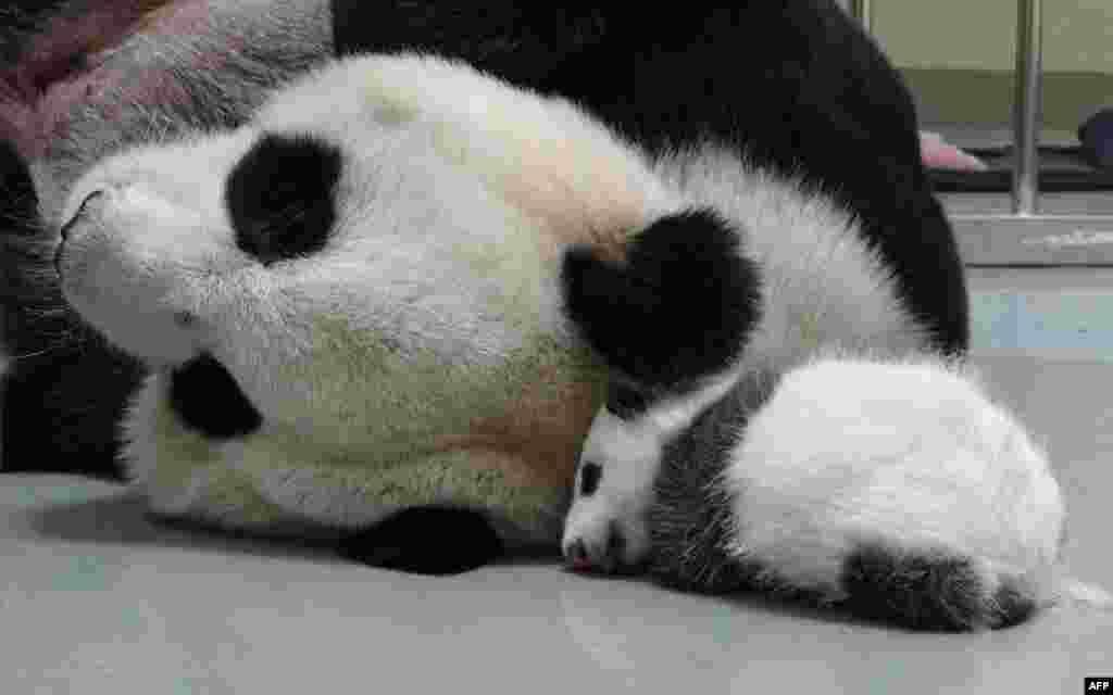 Gấu trúc mẹ Nguyên Nguyên nằm cạnh gấu con trong vườn thú Đài Bắc, Đài Loan.