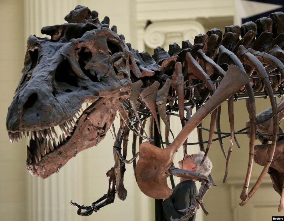 미국 일리노이주 시카고의 '필드' 박물관 관계자가 '수'라는 이름의 티라노사우루스 화석에서 연구 목적으로 앞다리를 떼어내기 위해 관찰하고 있다.