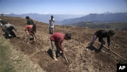 Indian laborers work at a potato field at Nathatop, 110 kilometers from Jammu, India