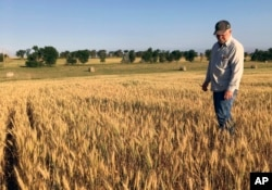 FILE - Farmer John Weinand surveys a drought-plagued wheat field near Beulah, North Dakota, that should be twice as tall as it is, July 13, 2017.