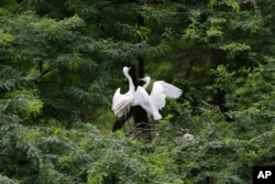 Trees give shelter to all kinds of wildlife. Two white Heron birds sit in a tree at the Indian Zoological Park in New Delhi, India, August 2004. (AP Photo/Manish Swarup)