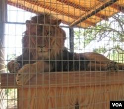 Seekor singa bernama Cuzy, salah satu piaraan Dale Anderson, istirahat di Cat Haven.