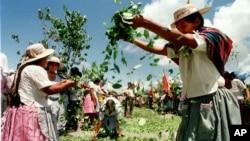 Después de descontar las 9,000 toneladas métricas de hojas de coca permitidas para el consumo quedan 122,295 que van destinadas al narcotráfico.