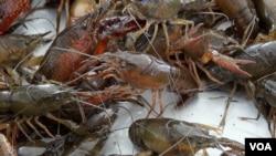 走进美国:揭秘美国路易斯安那州水煮小龙虾