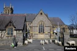 Sekelompok kambing gunung berkeliaran di jalanan kota Llandudno, Wales.