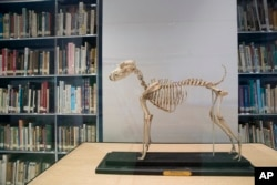 This Wednesday, Jan. 9, 2019, photo shows the skeleton of Belgrave Joe, the foundation sire of both fox terrier wire and smooth bloodlines, on display at the library of the American Kennel Club Museum of the Dog in New York. The museum opens Feb. 8. (AP P
