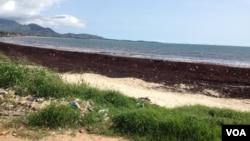 FILE - Sargassum seaweed blankets Lumley beach, Freetown, Sierra Leone, Oct. 1, 2015. (N.de Vries/VOA).