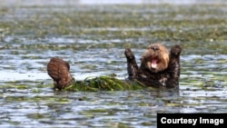 The Comedy Wildlife Photography Awards 2017, Penny Palmer, San Rafael, United States. Cheering sea otter. Hallelujah! (Comedy Wildlife Photo Awards)