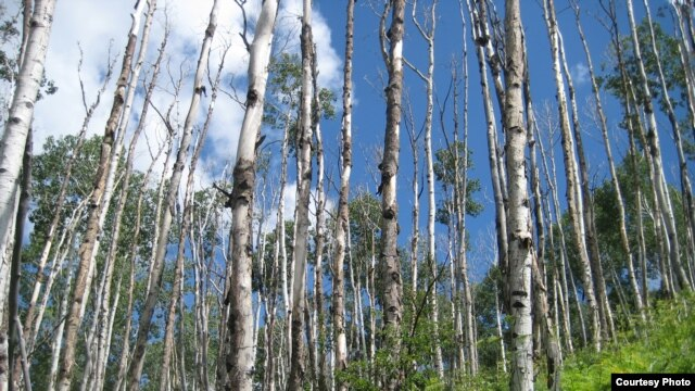 Aspen, the most widespread tree in North America, is suffering from what scientists call sudden drought-induced death from climate change. (Credit: Kimberly Pham)