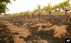 Grape vines sit among the scorched ground of the Robert Sinskey Vineyard in Napa, Calif., Oct. 9, 2017.