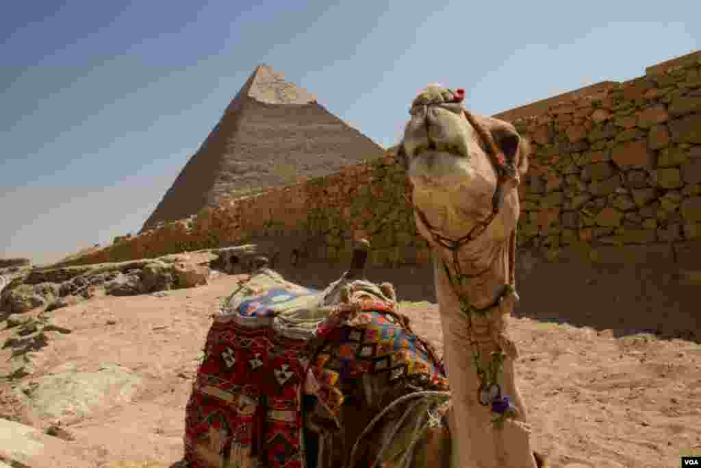 A camel in front of the Pyramids at Giza, Egypt, July 13, 2013. (A. Arabasadi/VOA)