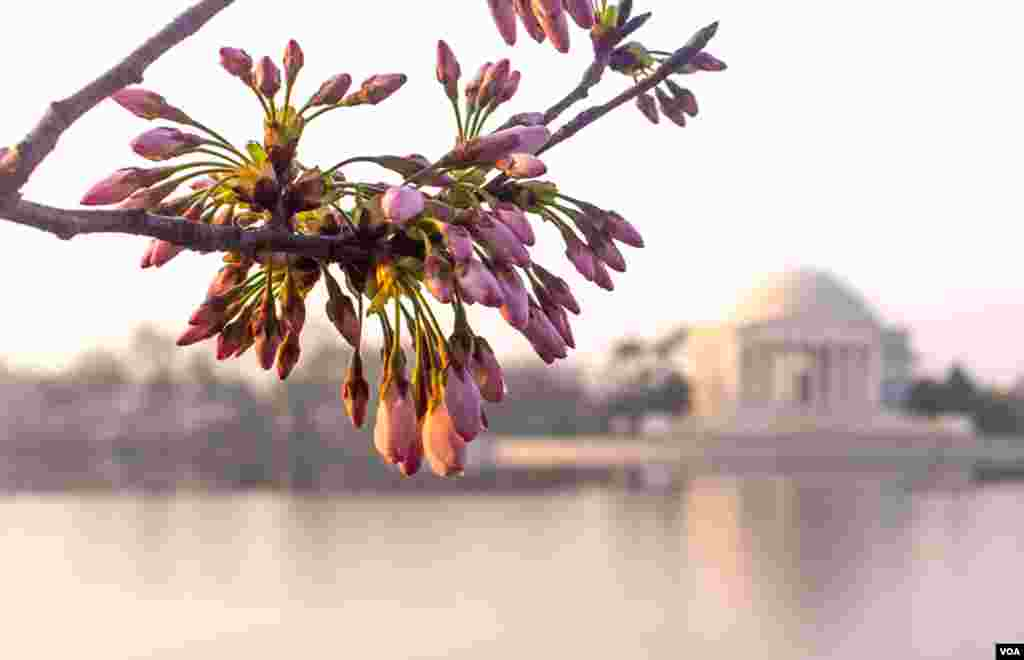 Cherry Blossoms along the tidal basin, near the Jefferson Memorial, March 17, 2012. (by Ehpien, via Flickr)
