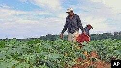 غیر قانونی تارکین وطن امریکی کھیتوںمیں کام کرتے ہوئے