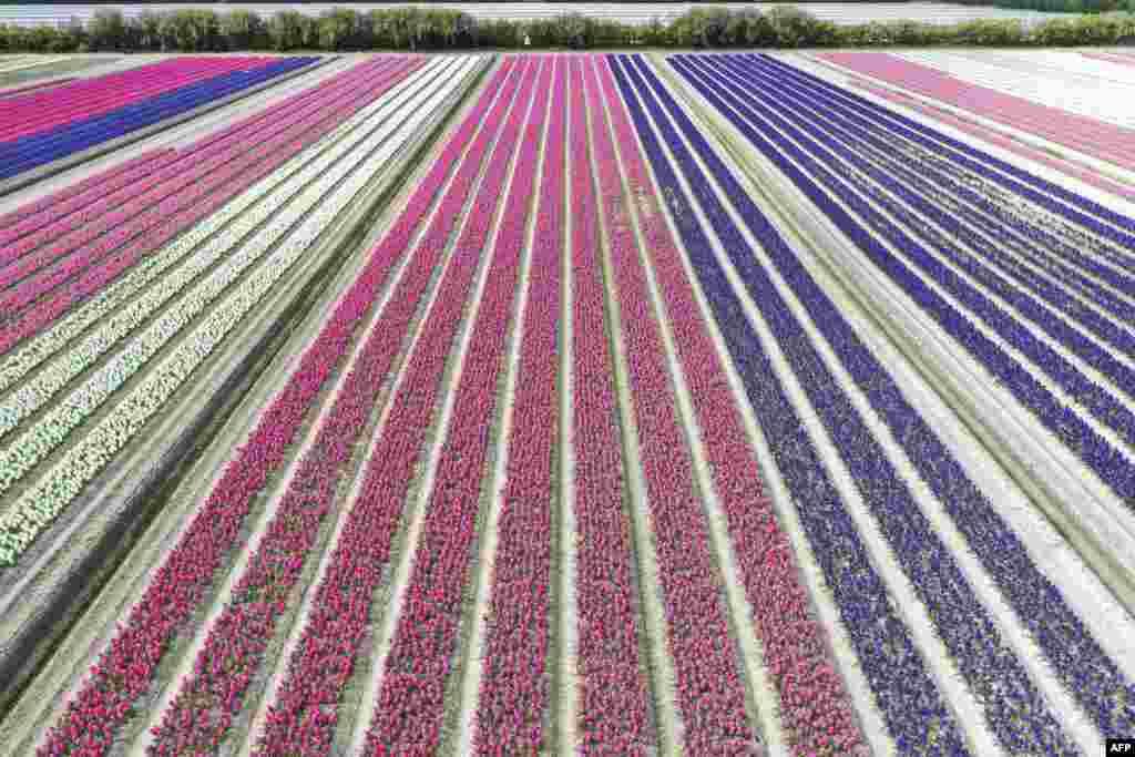 A field of hyacinths flowers in Plomeur, western France.