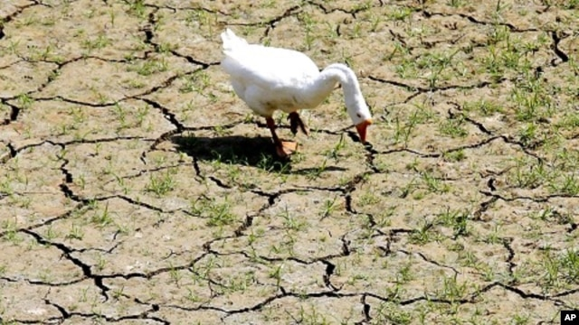 A goose feeds on the bank of a dried-up creek bed near Lake Arlington in Arlington, Texas, August, 2011.