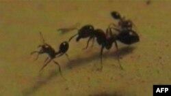 Crveni mravi postaju napast