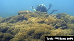 In this Aug. 4, 2019 photo provided by Taylor Williams, a new species of seaweed covers dead a coral reef at Pearl and Hermes Atoll in the remote Northwestern Hawaiian Islands. (Taylor Williams/College of Charleston via AP)