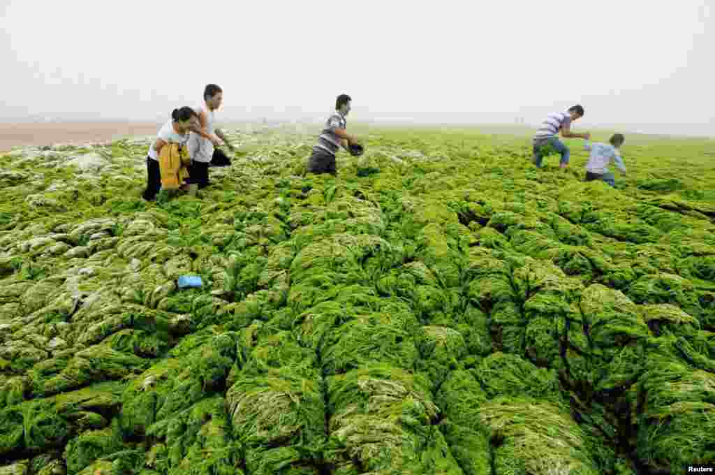 People walk through algae-covered seaside in Qingdao, Shandong province, China, July 1, 2013.