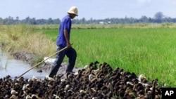 Đảng đương quyền Thái Lan bị chỉ trích dữ dội vì một chương trình thu lúa gạo với giá cao từ tay nông dân, làm chính phủ tiêu hao nhiều tỉ đô la.