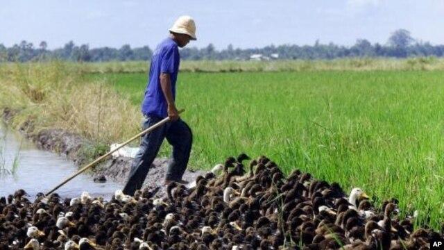 Sejumlah besar itik, terutama di peternakan tradisional di Jawa Tengah dan Timur, mati oleh jenis baru virus H5N1 atau flu burung (Foto: ilustrasi).