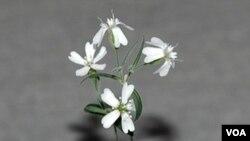 Foto dari Akademi Ilmu Pengetahun Rusia menunjukkan tanaman 'Sylene stenophylla' yang berhasil ditumbuhkan kembali dari fosil yang berumur 32.000 tahun. Ini merupakan tanaman tertua di dunia yang berhasil ditumbuhkan kembali.