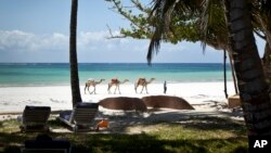 FILE - In this photo taken March 28, 2012, a man offering camel rides for tourists leads his animals along the Indian Ocean beach of Diani, a popular tourist destination on the coast of Kenya.