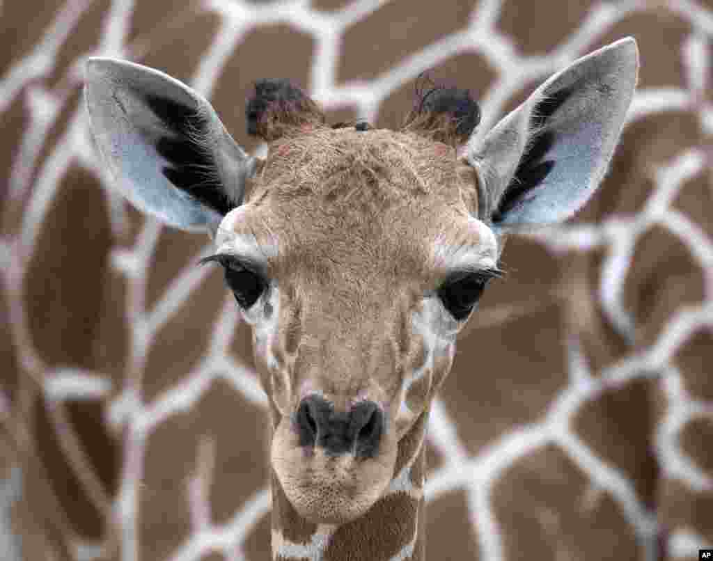A giraffe baby stands in front of her mother 'Dhakija' at the zoo in Erfurt, Germany.