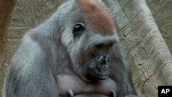 Di foto yang diambil pada hari Selasa, 22 April 2014 oleh Wildlife Conservation Society, Tutti, gorila dataran rendah barat betina melihat anaknya yang sedang tidur di kebun binatang Bronx.
