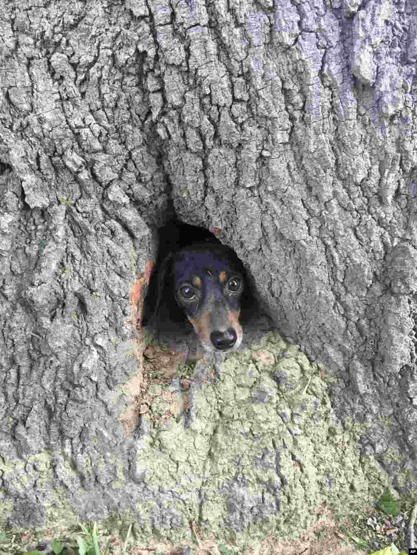 این سگ درتنه یک درخت در ایالت کنتاکی گیر کرده بود تا افسران پلیس و آتش نشان نجاتش دادند.