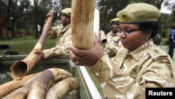 Kenya Wildlife Service officials deliver elephants tusks and firearms recovered from poachers to their headquarters, Nairobi, June 22, 2012.