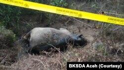 Seekor gajah Sumatera ditemukan mati di Gampong Seumanah Jaya, Kecamatan Ranto Peureulak, Kabupaten Aceh Timur, Provinsi Aceh, Kamis 21 November 2019. (Foto: Courtesy/BKSDA Aceh)