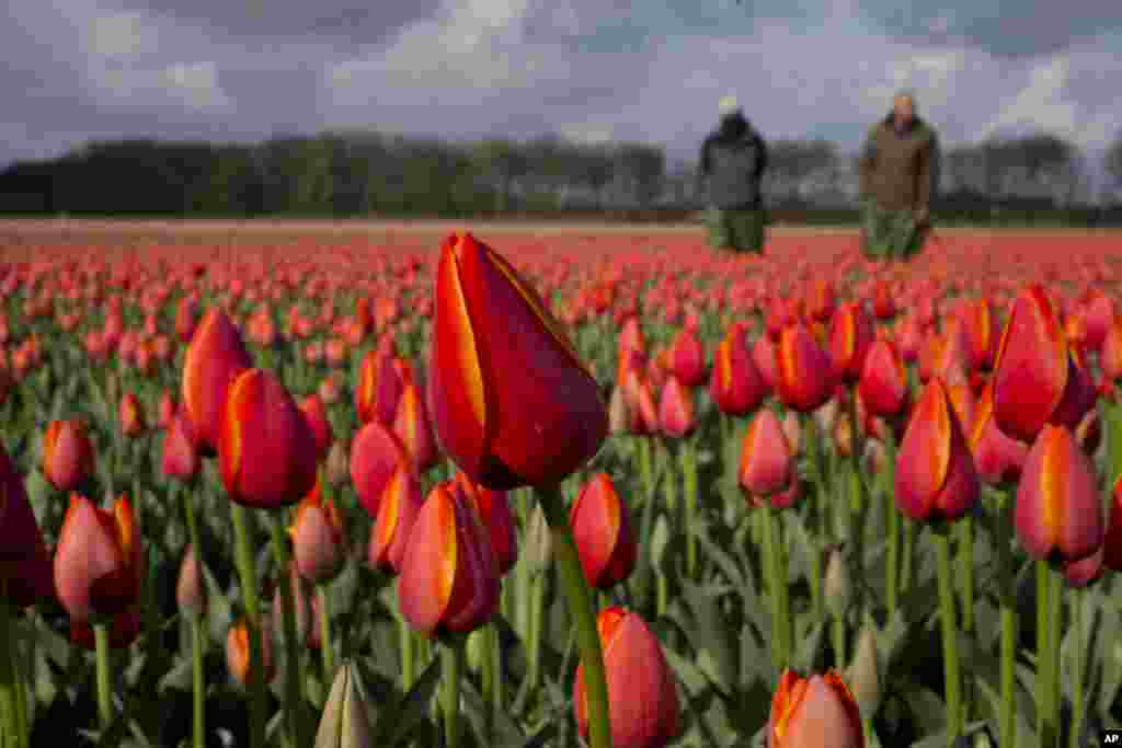 Tulip farmers look for weeds in a field of tulips near the city of Noordwijkerhout, western Netherlands.