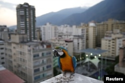 A macaw stands on a rooftop of a building in Caracas, April 1, 2015.
